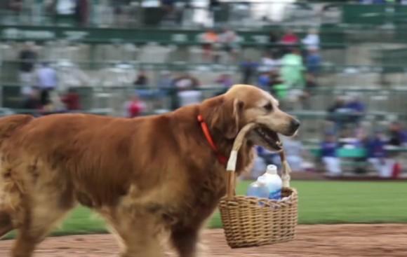 野球場で審判に水を運び、飲み終わると持って帰る愛すべきゴールデン・レトリバー(アメリカ)