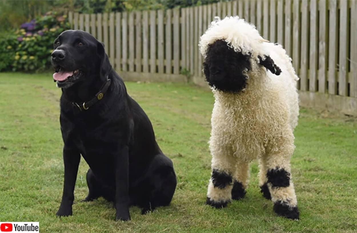 世界一かわいい羊、ヴァレー・ブラックノーズが犬っぽくなった件