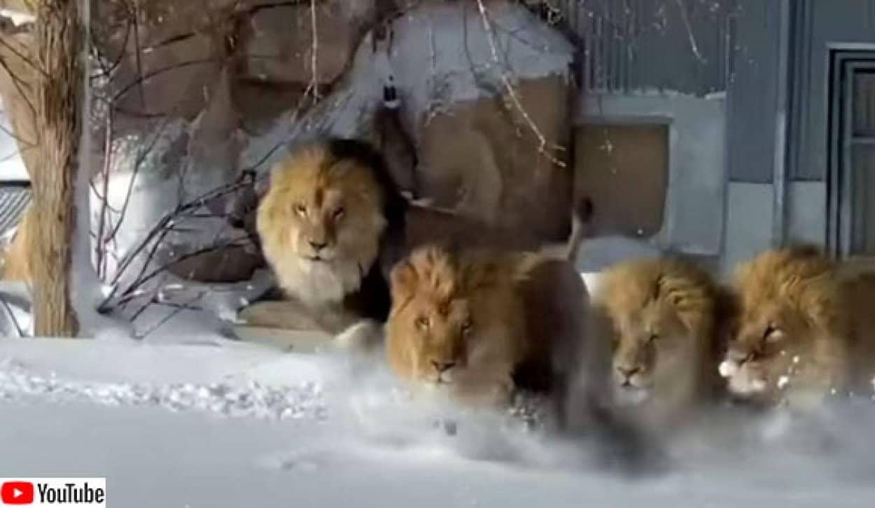 雪で遊ぶライオンたち
