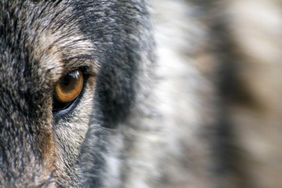 wolf_pixabay_5