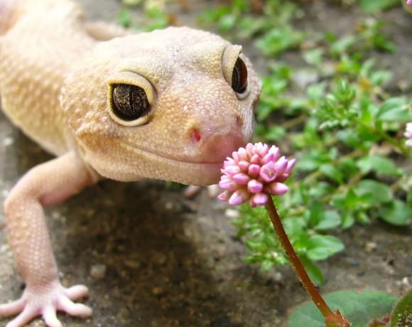 花のにおいをかぐヤモリ