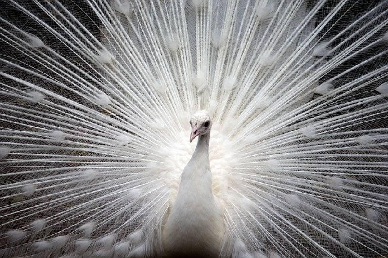 白孔雀が羽を広げる瞬間の美しさ