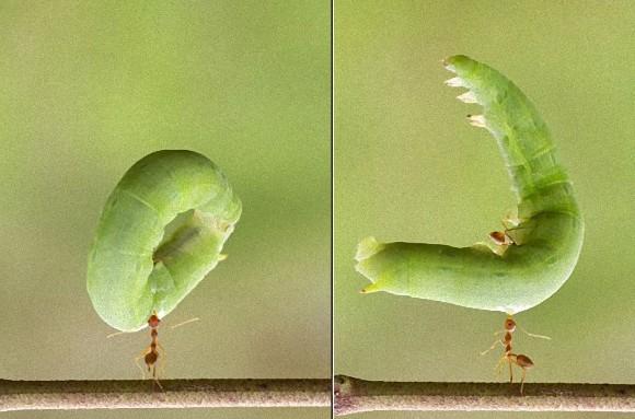 人間と同じ体積になったら確実にやばいヤツだ。10倍以上でかい芋虫を顎で軽く持ち上げちゃう小さきパワーリフター、「ツムギアリ」