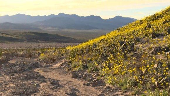 砂漠に花が咲くとき。スーパーブルーム現象で、デスバレーに満開の花(アメリカ)
