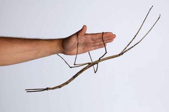 科学者が巨大昆虫にかける情熱がすごい。世界最長のナナフシを生み出せ!オーストラリアで世界初となるナナフシの人工飼育に成功