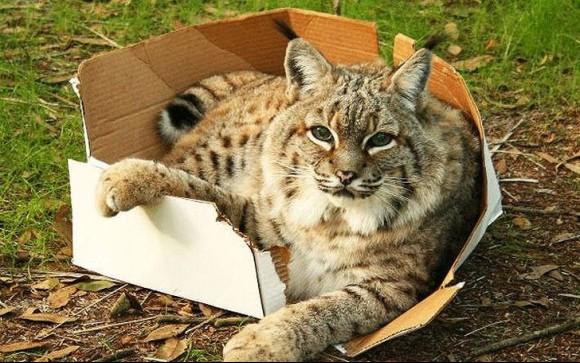 大きくても猫だもの。箱には目がない大型ネコ科の動物たちの写真