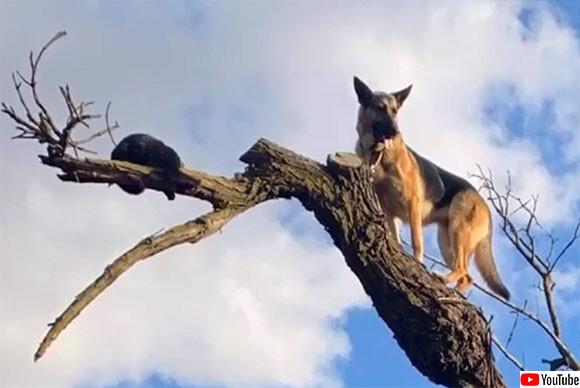 猫好きのジャーマンシェパード、猫を追いかけ木に登るも降りられなくなり救助される(アメリカ)