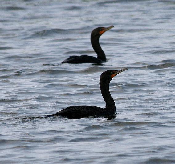 synchronized swimming animals 15