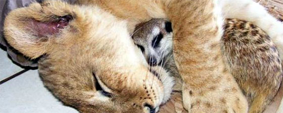 ライオンミーアキャット