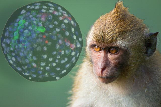 サルと人間が融合したキメラ胚が誕生