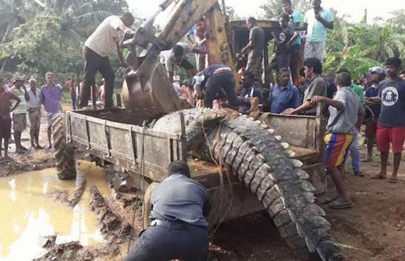 スリランカで体長5mを越える巨大なワニが水路に詰まってさあ大変。重機で救出される。