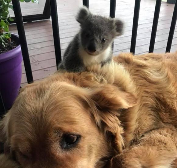 いつのまにかなつかれてた。犬の背中に野生のコアラがひっつい