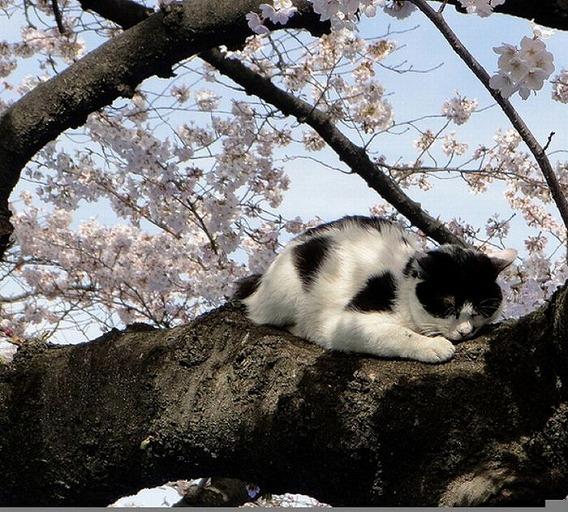 cherry_blossom_tree_cats_01