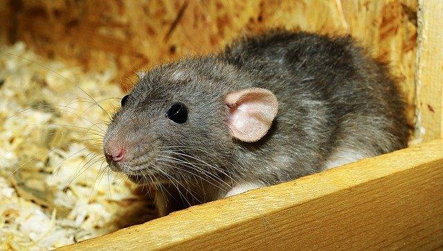rat-3534317_640