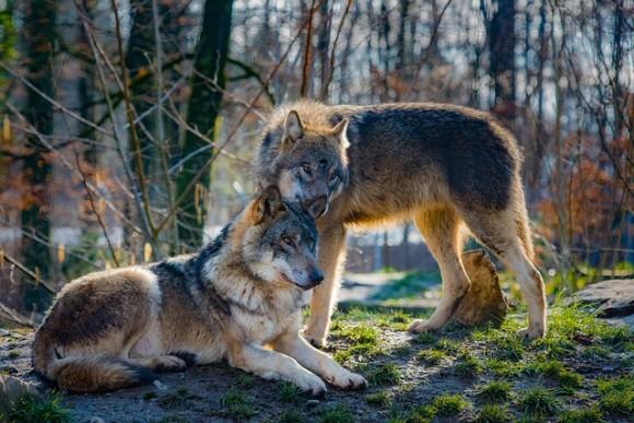 wolves-2178126_640_e