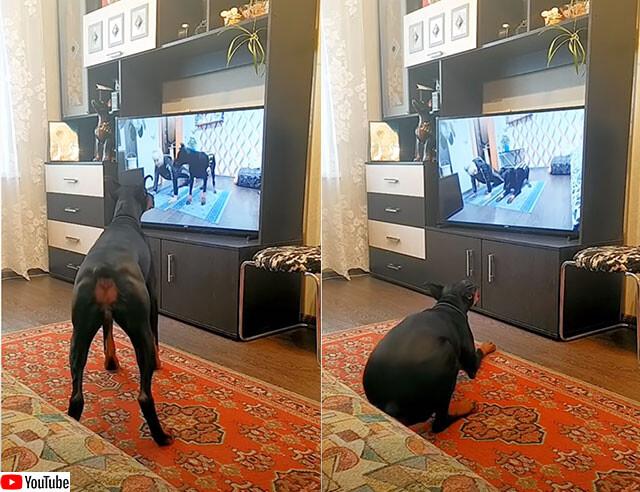 ビデオを見ながら同じ動きでエクササイズする犬
