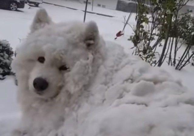 いつまでもこうしていたい…?雪に埋もれ完全同化しても家に入りたがらないサモエド犬