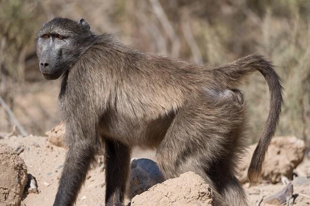 monkey-4427819_640