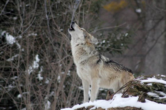 wolf_pixabay_3