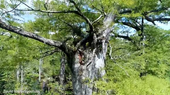 弥生時代から令和まで。アメリカの湿地帯で樹齢2624歳の木が発見される