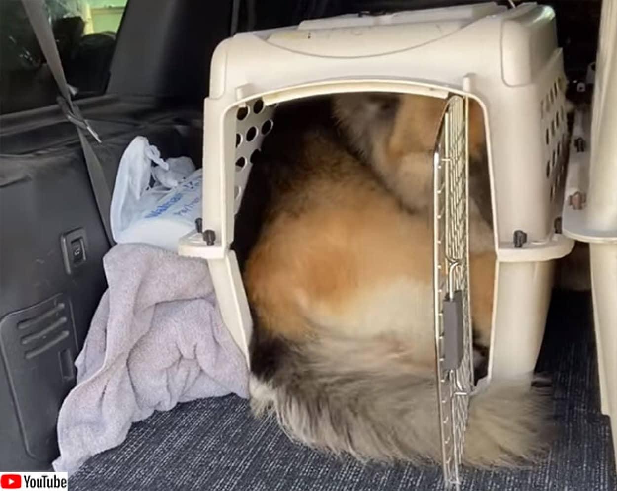 大型犬の猫化。キャパオーバーの小さなケージに入り込む