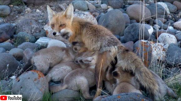 子だくさんのキツネの母さん、13匹の子ギツネの育児に大忙し(アメリカ)