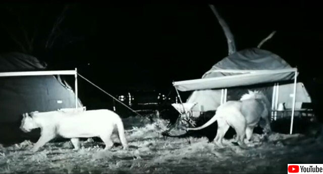 真夜中のキャンプ・サバイバルホラー。テントの周りにライオンの群れがオラついていた件