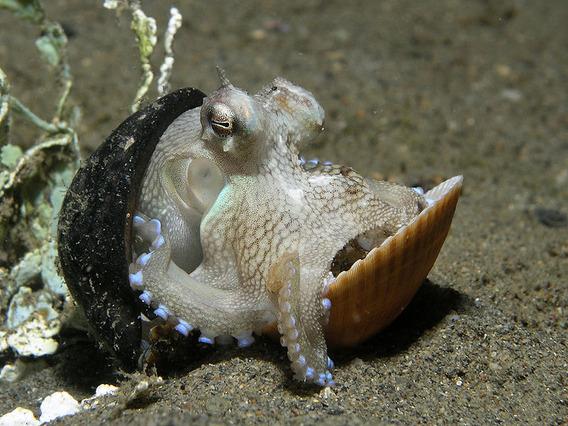 800px-Octopus_marginatus