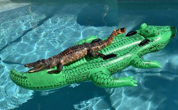 ワニの上にワニがいる、だと?フロリダのプールで目撃した驚きの光景とは!?(アメリカ)