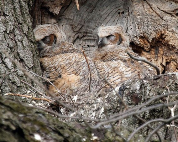 camouflaged_owls_03_e