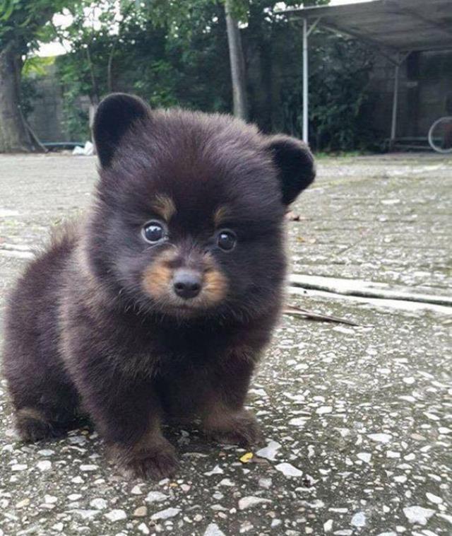 くまのようなかわいい子犬