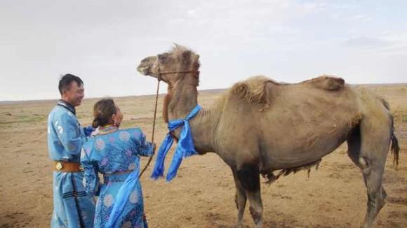 ラクダ、100キロ歩いて元の飼い主の元へ