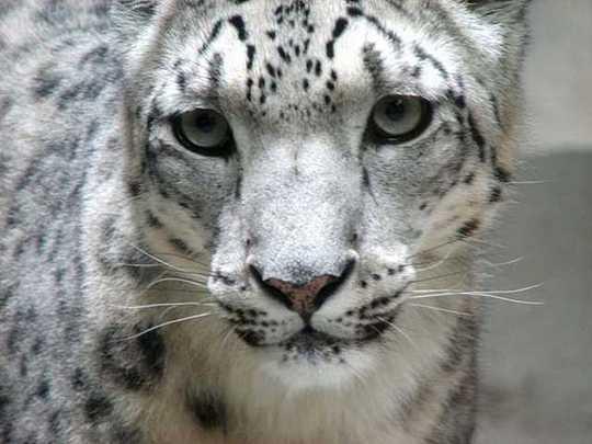 snow-leopard-1