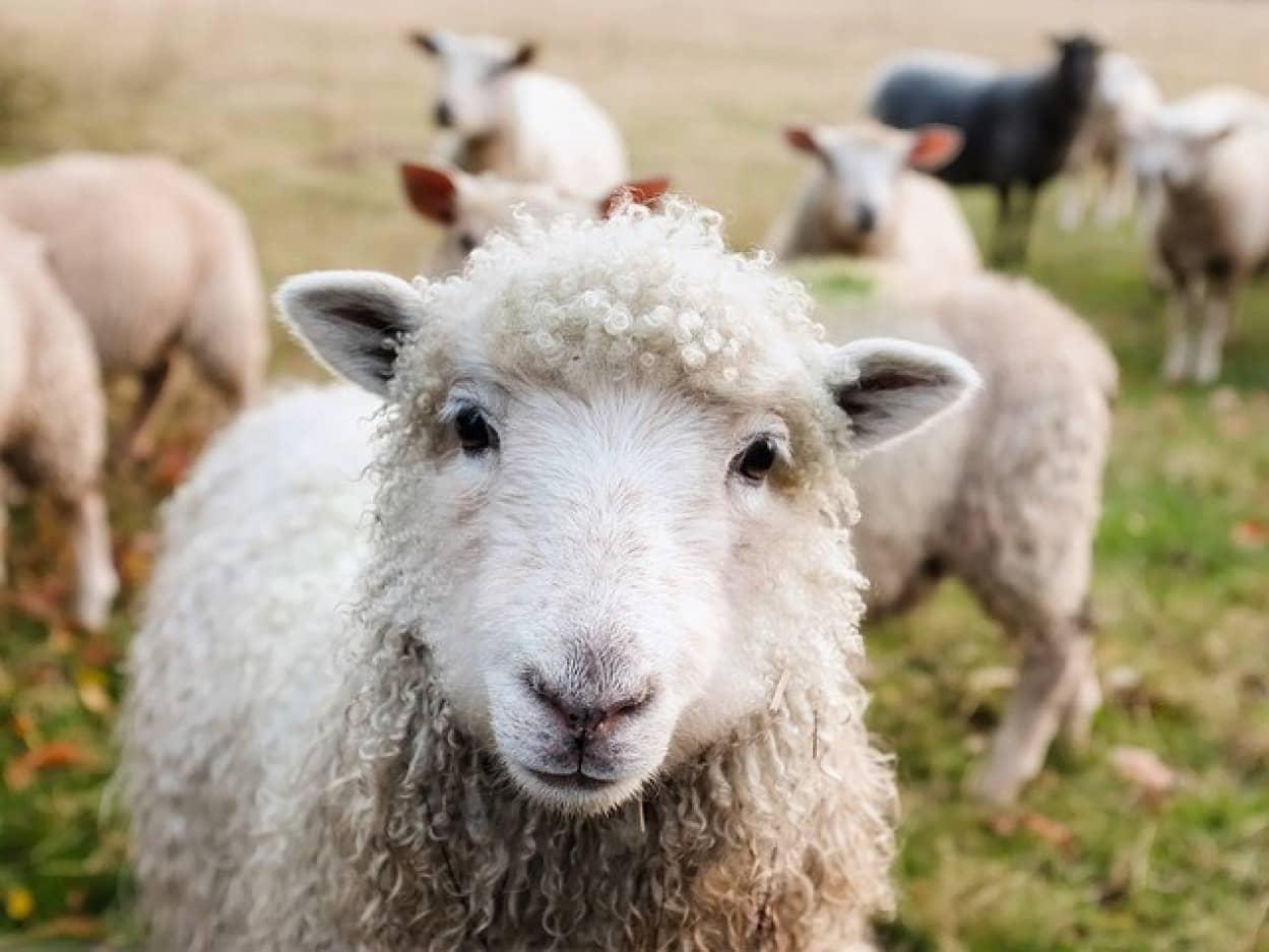 羊は草食系男子を好む。強いオスよりおとなしいオスが好き