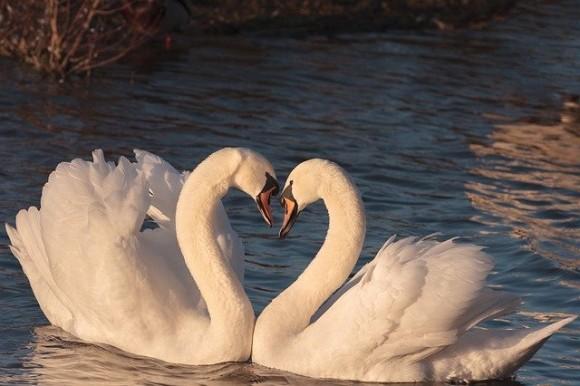 swans-2116649_640_e