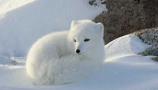 Snow-White-Arctic-Fox-2