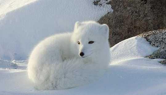 Snow-White-Arctic-Fox-2