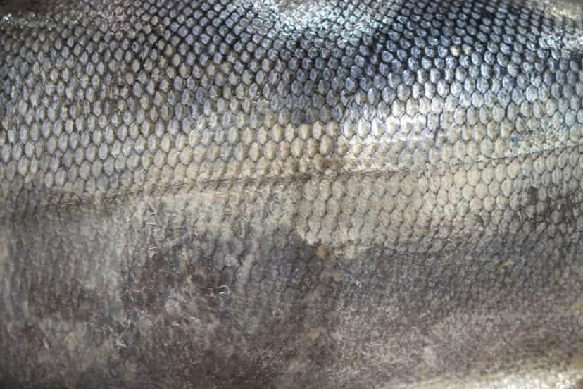 鮭の皮でできた水着