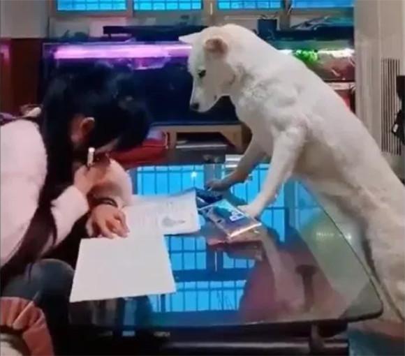 宿題終わるまではスマホなしな。少女の宿題を監視する犬(中国)