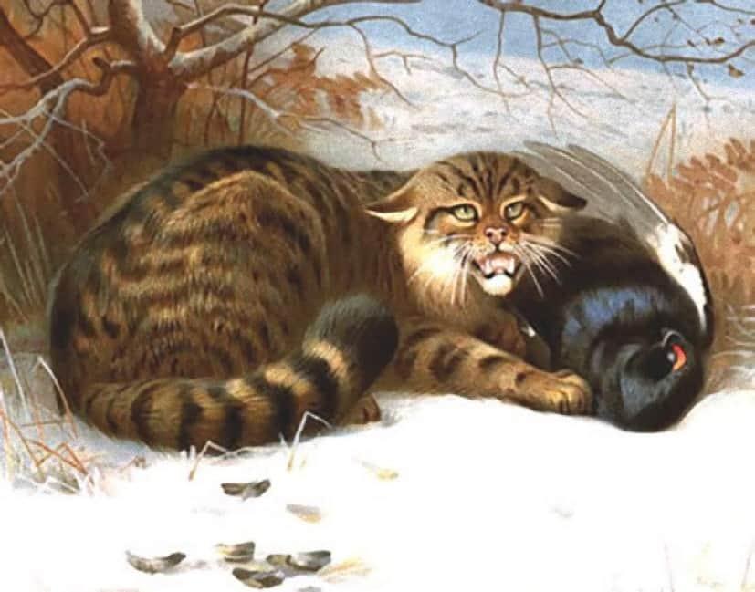WildcatThorburn1902_e