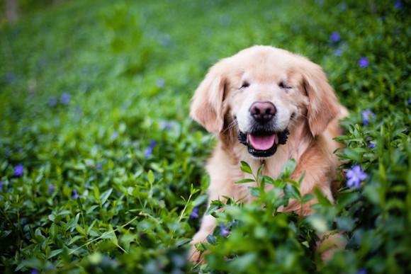 この素晴らしい笑顔!いつも笑顔を絶やさない盲目のゴールデン・レトリバー、みんなに笑顔を分け与えるセラピードッグに。