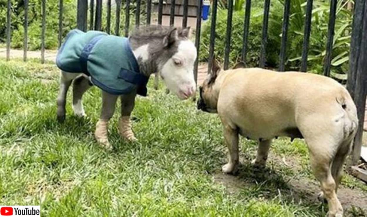 安楽死寸前だった世界最小の馬が犬の友達を得て幸せに暮らすまでの物語