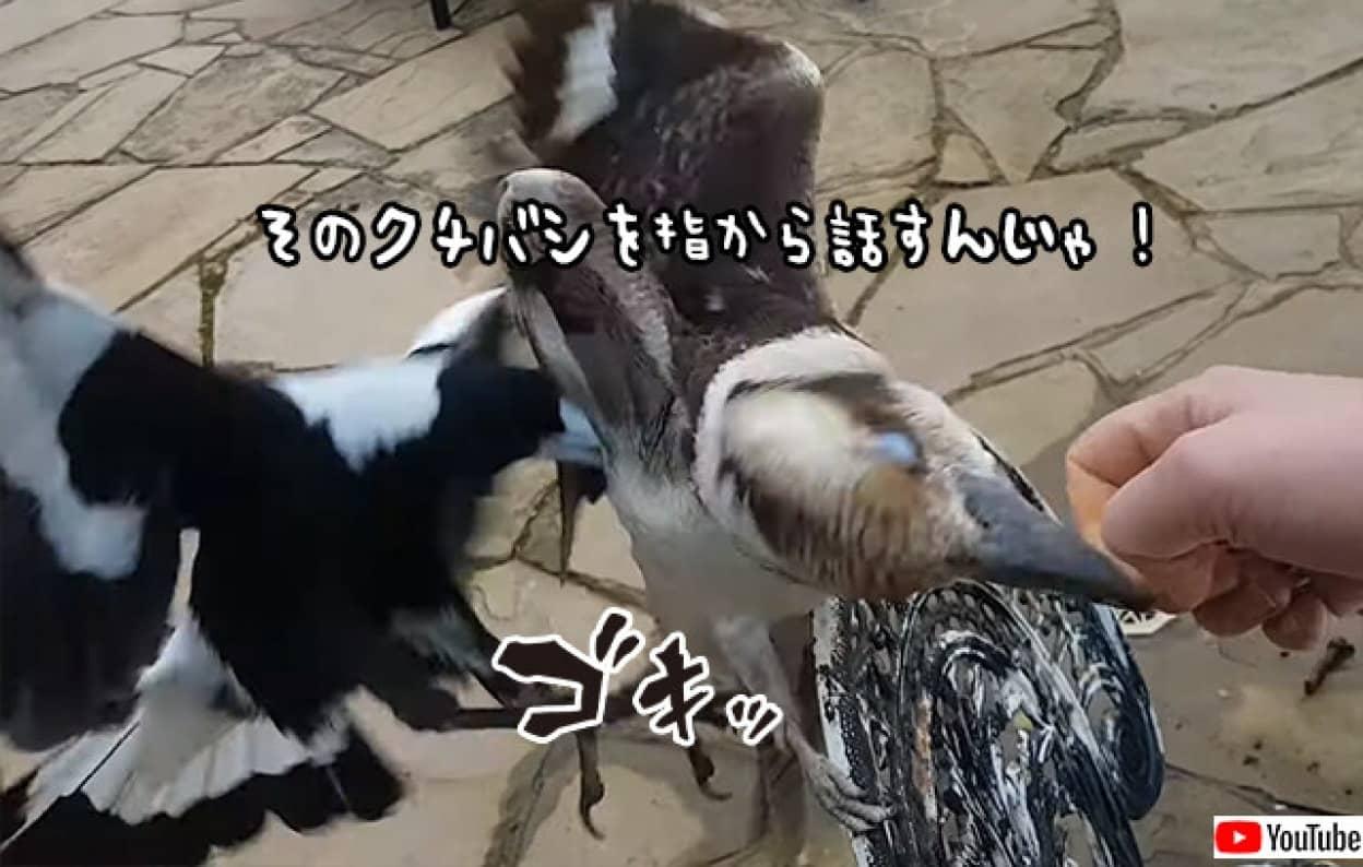 ワライカワセミに指を噛みつかれていた女性を助けるため、顔見知りのカササギフエガラスが後ろから飛び蹴り