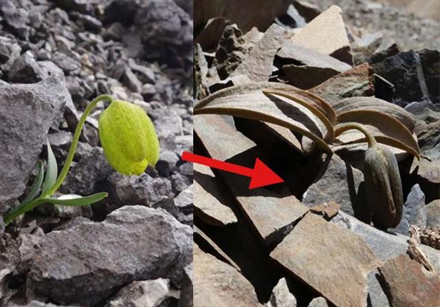 乱獲されないよう擬態能力を身に着けた植物