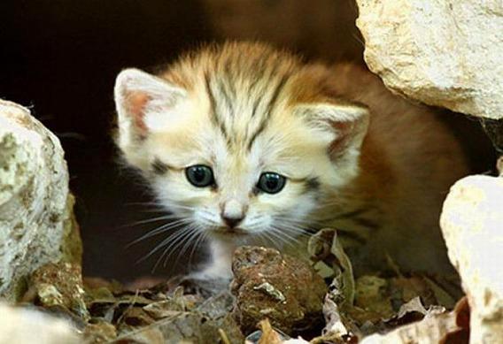 sand_cat_kitten_12