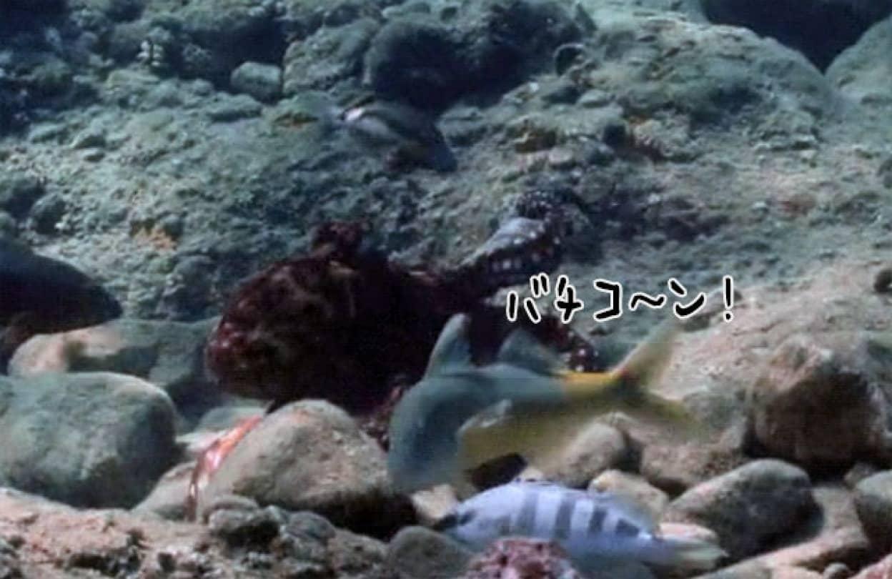 一緒に狩りをしている仲間の魚を殴るタコ
