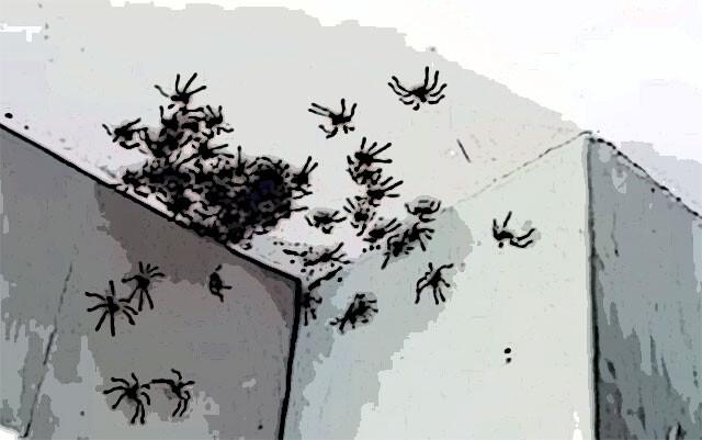 アシダカグモの大群が娘の部屋の天井に密集!!【蜘蛛出演中・動画あり】