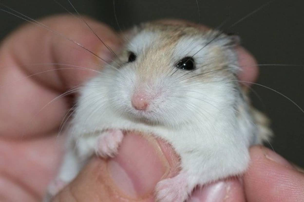 hamster-577257_640_e
