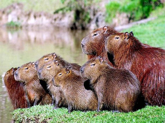 capybara6