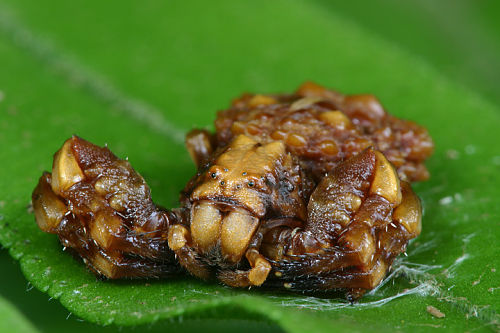 dung-crab-spider